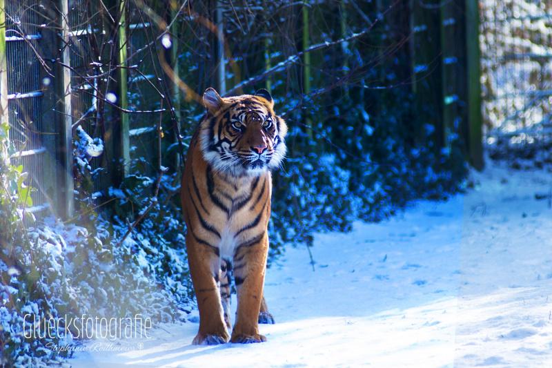 Tierfoograf-tiger-gluecksfotografie-zoo