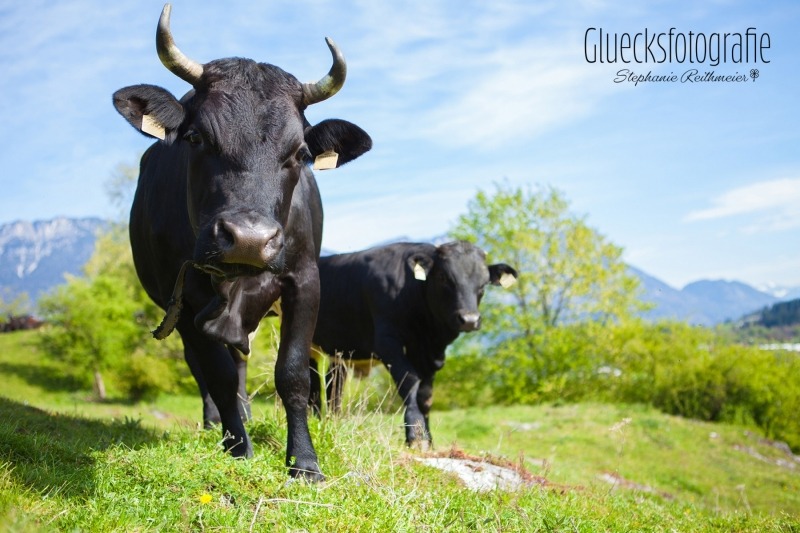 bergfotos-alm-kuehe-tierfotografie-gluecksfotografie