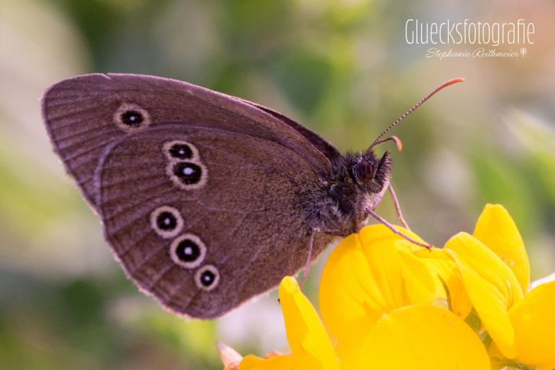 brauner-schmetterling-naturfotos-gluecksfotografie-altomuenster