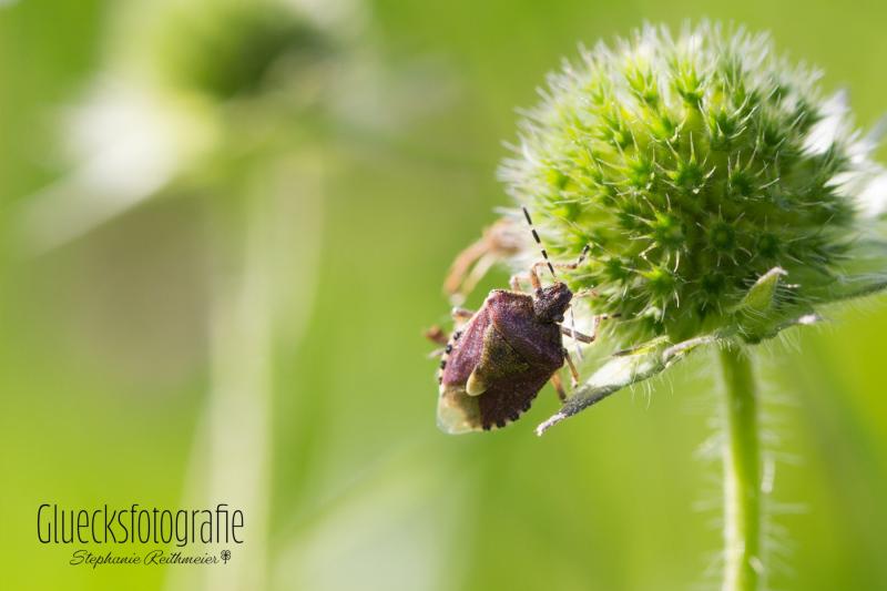 gluecksfotografie-kaefer-naturfotos-insekten