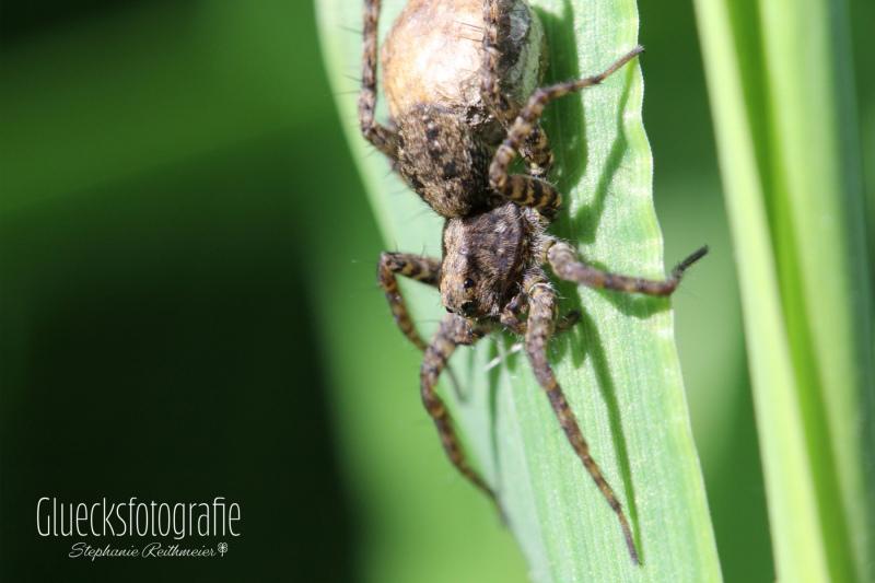 spinne-tierfotografie-insekten-fotograf-altomuenster-gluecksfotografie
