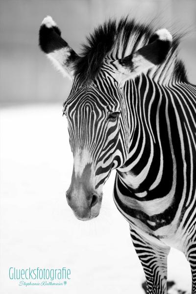 zebra-tierfotografie-zoo-gluecksfotografie-schwarzweissfotos